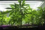 Arriva la marijuana legale in Italia….per scopi terapeutici