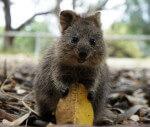 Il Quokka, l'animale più felice del mondo, rischia l'estinzione