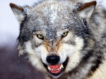 La lista degli animali più temuti a cura del World Wildlife
