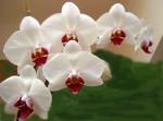 Orchidee disegnate da molecole architetto per attirare gli insetti