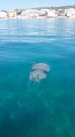 Invasione di meduse giganti nei nostri mari, decine di segnalazioni nel Lazio e nell'alto Adriatico