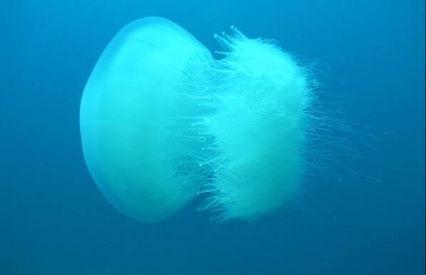 Allarme Mediterraneo: rischio arrivo di meduse giganti