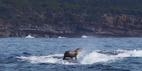 La foca che cavalca una balena, la foto che sta facendo il giro del mondo