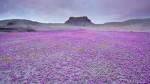 Atacama, la malva tinge la sabbia di rosa