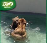 Roma, l'operazione che ha liberato l'orso dall'ernia del disco