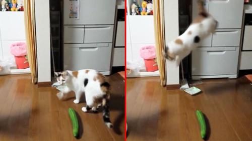 I gatti hanno paura dei cetrioli, gli esperti spiegano il motivo