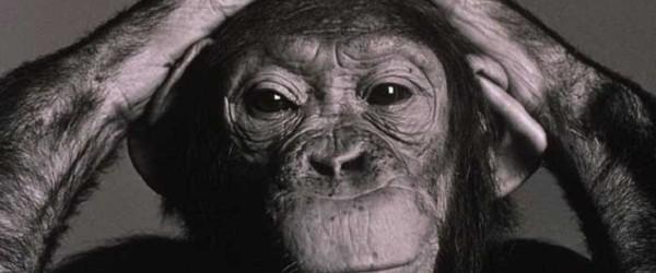 Scimpanzé cavie del National Institute of Health (USA) torneranno in libertà