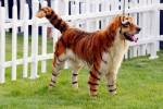Cina, la squallida moda di pitturare i cani