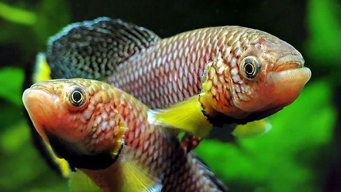 Invecchiamento, da oggi si combatte con un pesciolino