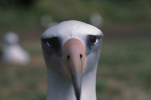 Wisdom, l'Albatros più vecchio del mondo depone un altro uovo