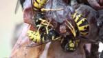Vino, senza vespe e calabroni è impossibile produrlo