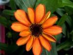 Sbocciato il primo fiore sulla Stazione Spaziale Internazionale