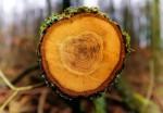 Anelli degli alberi svelano i segreti del clima