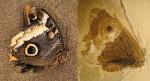 Rinvenuti fossili di farfalle con gli occhi sulle ali