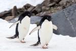 Polo Sud, iceberg fa strage di pinguini a Cape Denison