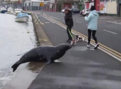 Irlanda: la foca Sammy attraversa la strada ogni giorno per chiedere il pesce
