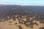 Argentina: spiagge invase dagli scarafaggi, sono milioni