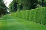 Quale siepe scegliere per arredare il tuo giardino?