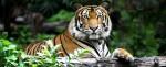 Tigri, per la prima volta dopo 100 aumenta la popolazione nel mondo