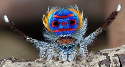 Natura: l'incredibile comportamento dei ragni pavone