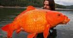 Pesci rossi devastanti per i fiumi: l'allarme degli esperti