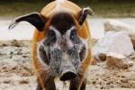 Verona: nato il primo esemplare di potamocero in Italia