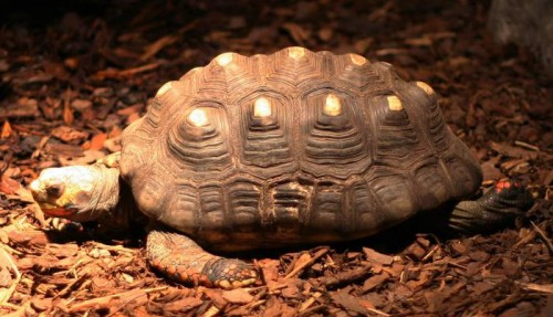Tartaruga sopravvive 34 anni in una soffitta: l'incredibile scoperta in Brasile