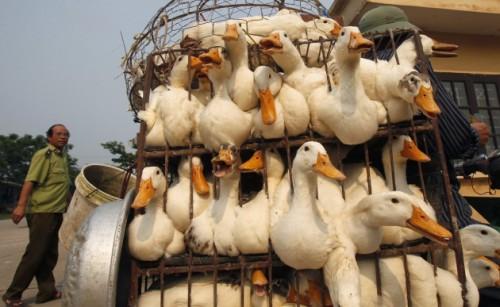 Aviaria, torna la paura in Europa: sterminati polli in Svezia e Germania