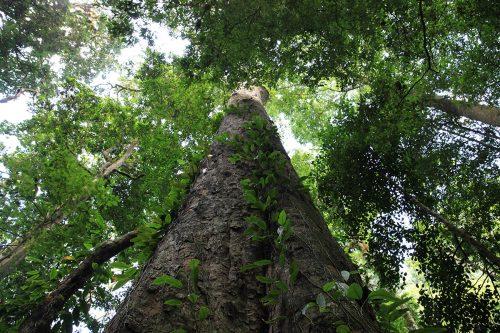 Africa, scoperto albero di 81 metri e mezzo