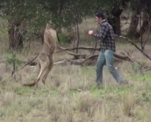 Australia: il video dell'uomo che sferra un pugno ad un canguro
