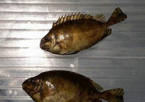 Ambiente, allarme pesci velenosi: catturati esemplari di pesce coniglio