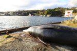 Norvegia: balena spiaggiata con ben 30 sacchetti di plastica nel corpo