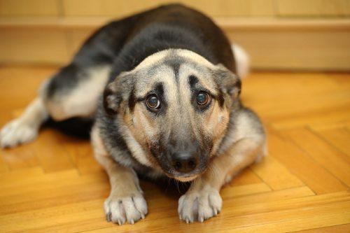 Comportamento animale: il cane ha davvero sensi di colpa?
