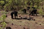Natura:  un branco di scimpanzé massacra un 'vecchio tiranno'