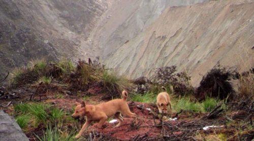 Il cane selvatico più raro al mondo non si è estinto: la conferma ufficiale