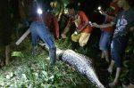 Indonesia: contadino ingoiato da un pitone di sette metri