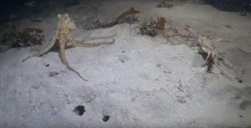 Polpo contro granchio: il duello subacqueo con un finale clamoroso