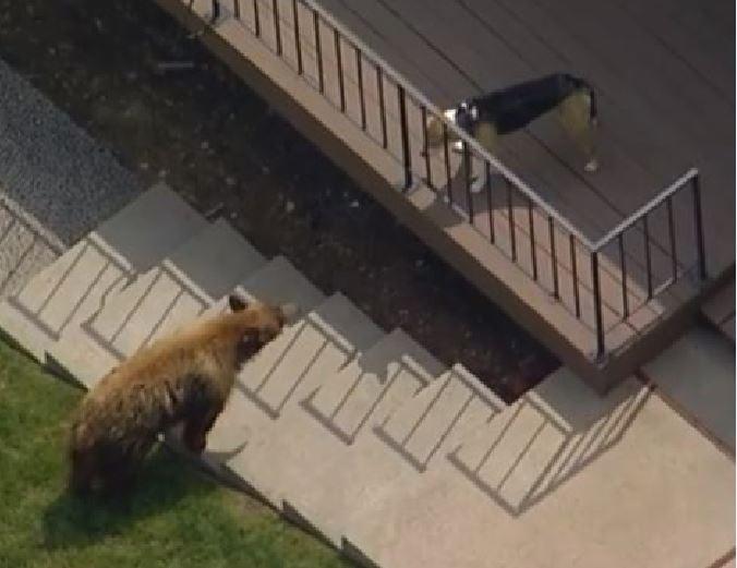 Orso bruno entra nel giardino di una casa: il cane lo fa fuggire