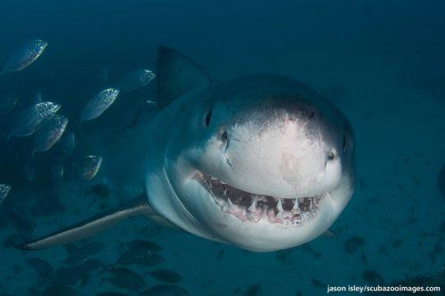 L'attacco dello squalo bianco: uomo scaraventato in acqua