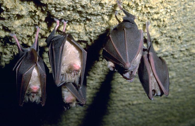 Animali: i pipistrelli nascondono dei rischi per l'uomo