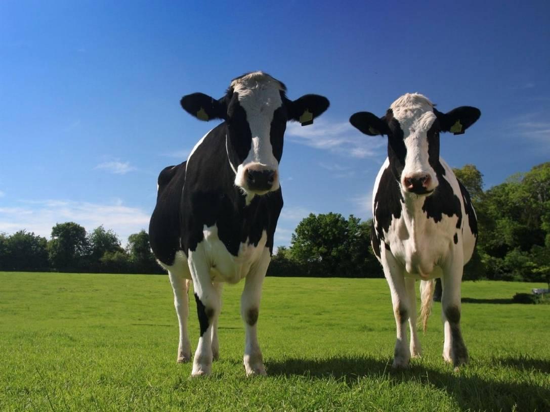 Alghe nel menu delle mucche ridurranno del 99% le emissioni di metano