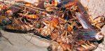Roma invasa dagli scarafaggi: le cause, caldo prolungato e siccità