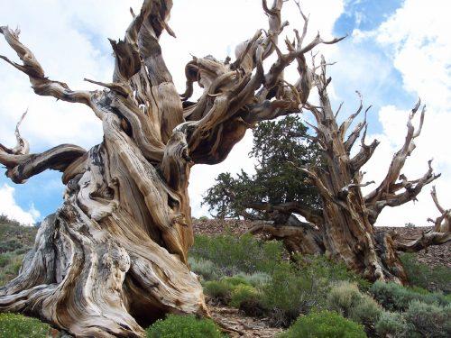 Scoperto l'albero più antico del mondo: ha 5.076 anni