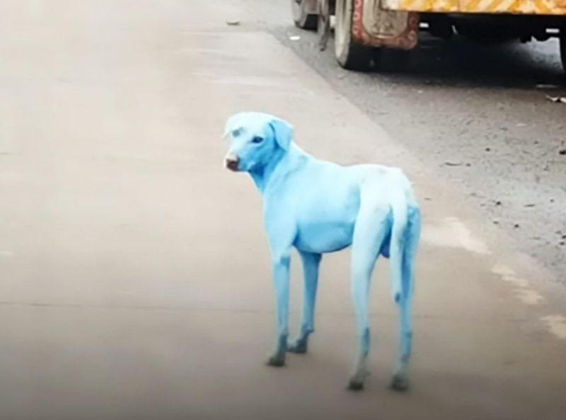 Cani azzurri a Mumbay, i randagi vittime degli scarichi inquinanti nei fiumi