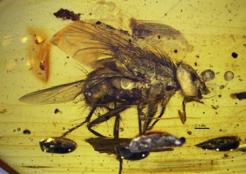 Scoperto l'antenato delle mosche, ha diciassette milioni di anni