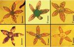 Tropidogyne pentaptera, il fiore preistorico di 100 milioni di anni fa