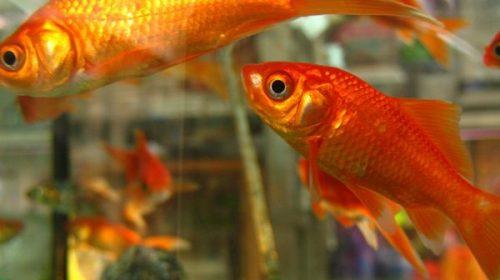 Natura: scoperto il segreto dell'incredibile resistenza dei pesci rossi