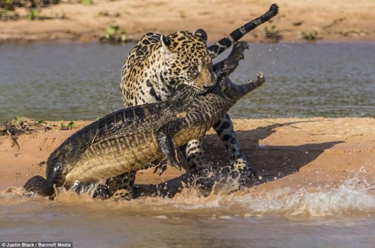 Giaguaro attacca caimano: il video virale su internet