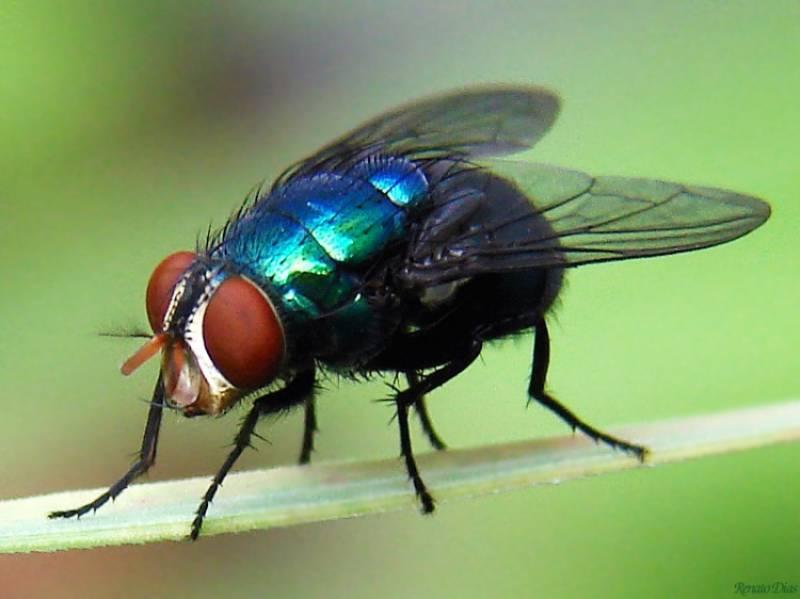 Le mosche sono molto più pericolose del previsto: la ricerca
