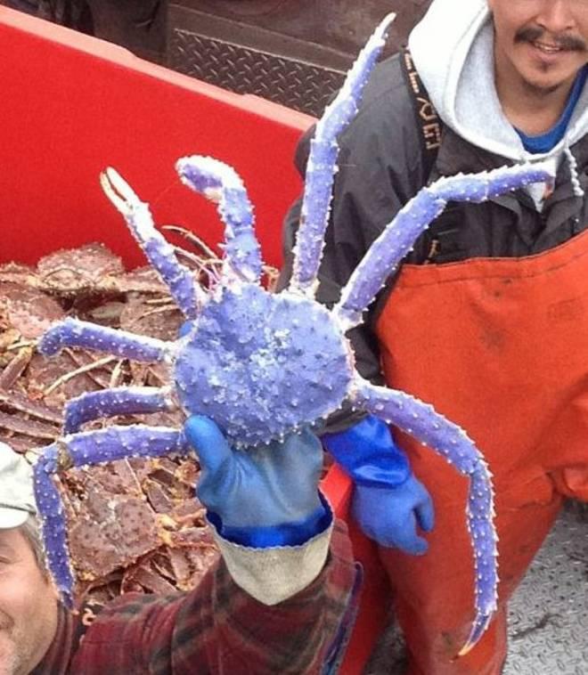 Pescato rarissimo esemplare di granchio blu